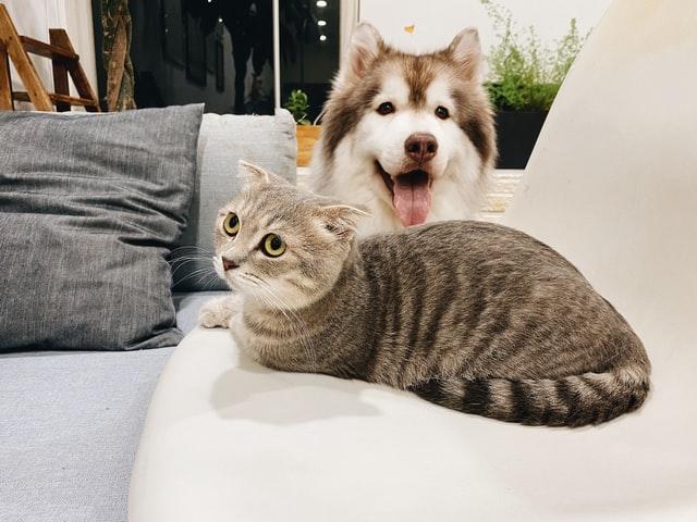 chat et chien canapé